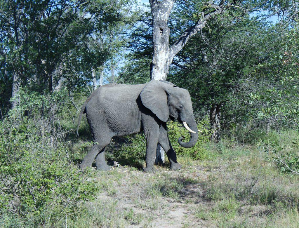 African Elephant, Kruger, South Africa