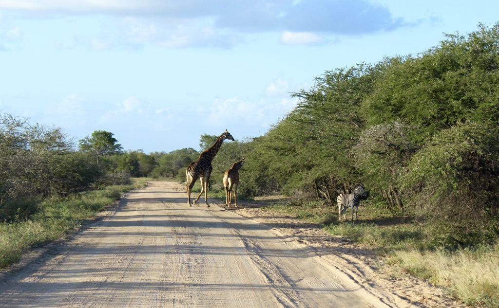 Zebras and Giraffe, Kruger, South Africa
