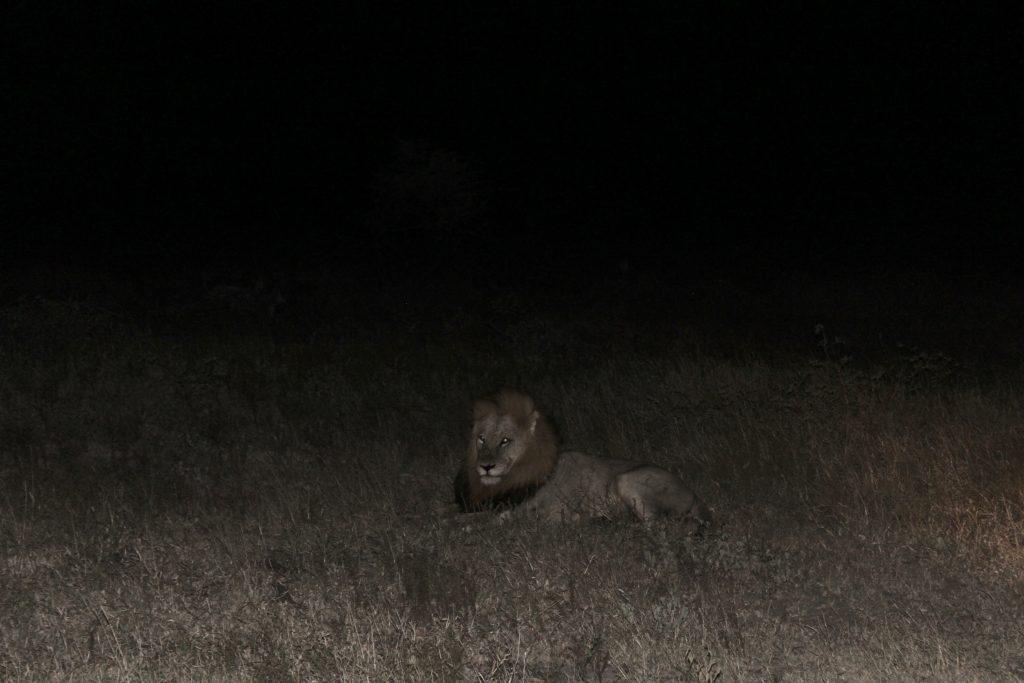 Lion, Kruger, South Africa
