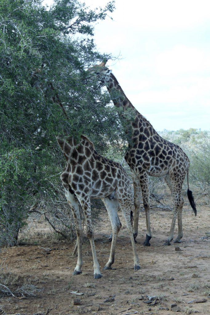 Girrafes, Kruger, South Africa