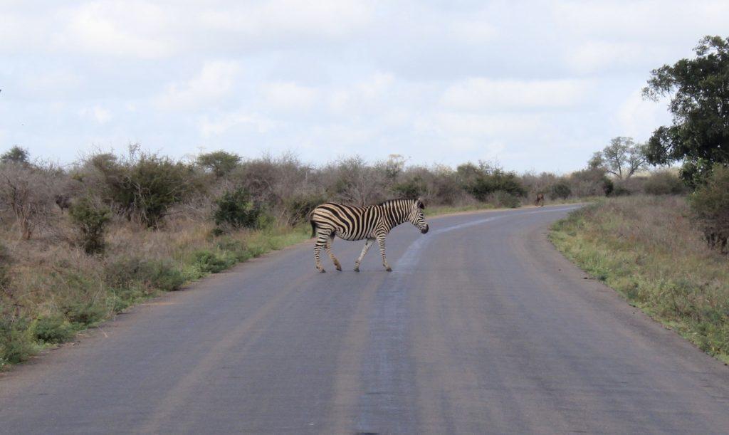 Zebra, Kruger, South Africa