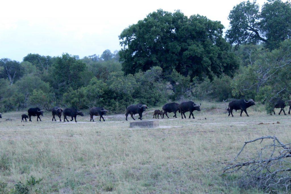 Cape Buffalos, Kruger