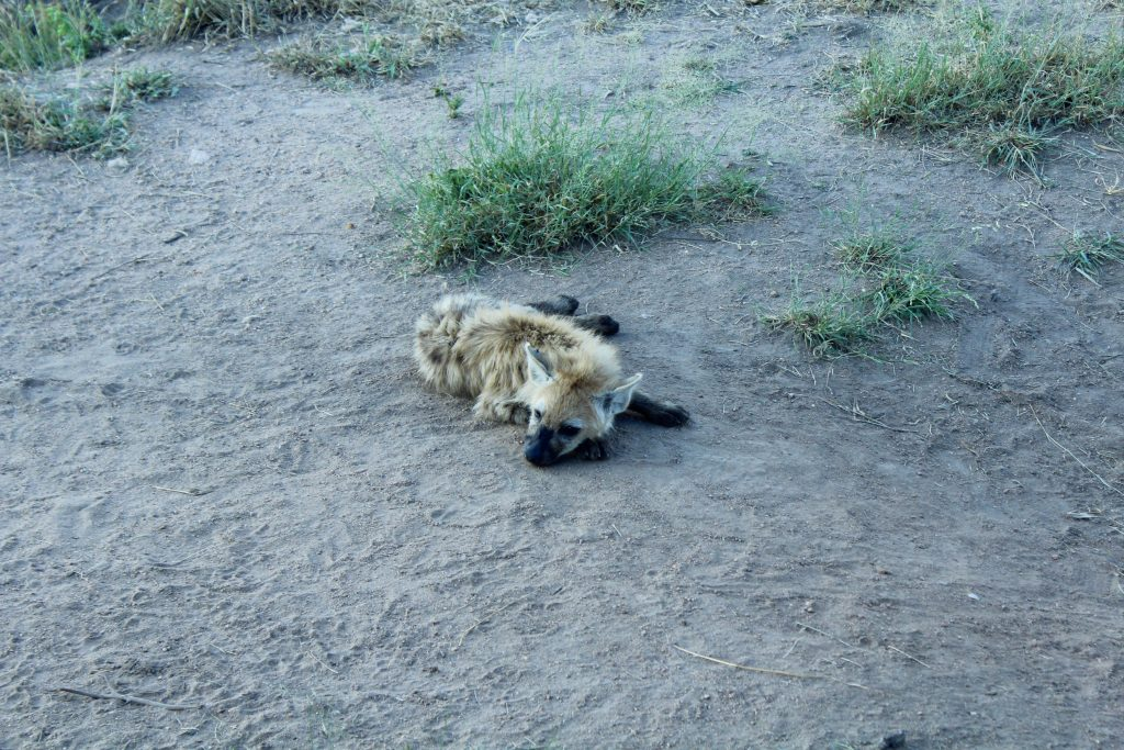 Spotted hyena, Kruger, South Africa