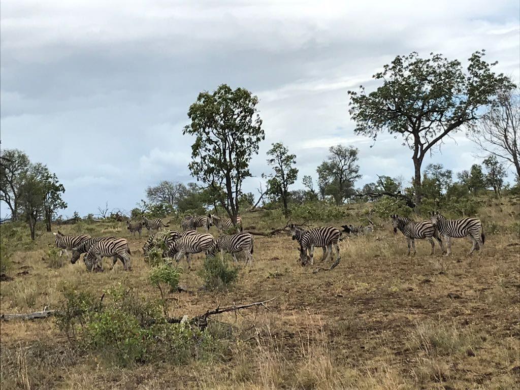 Zebras, Kruger, South Africa