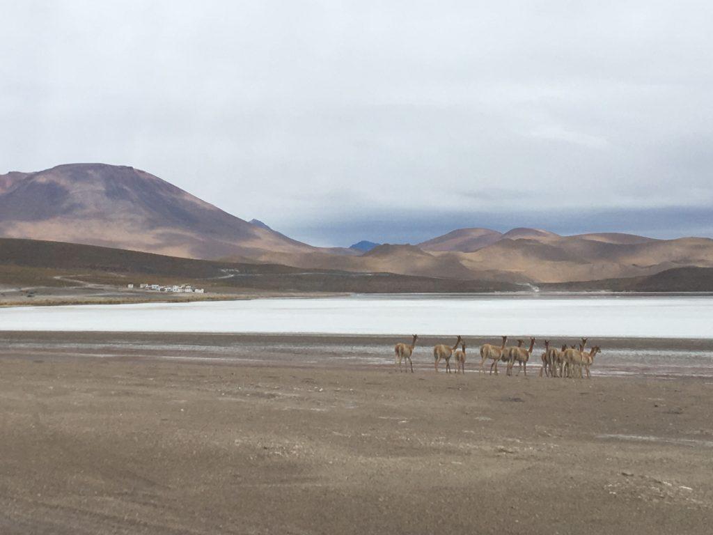 Vicunas, Salar de Uyuni, Bolivia